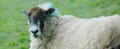 sheep at Belsford holiday cottages